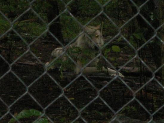Colombia, NJ: wolves