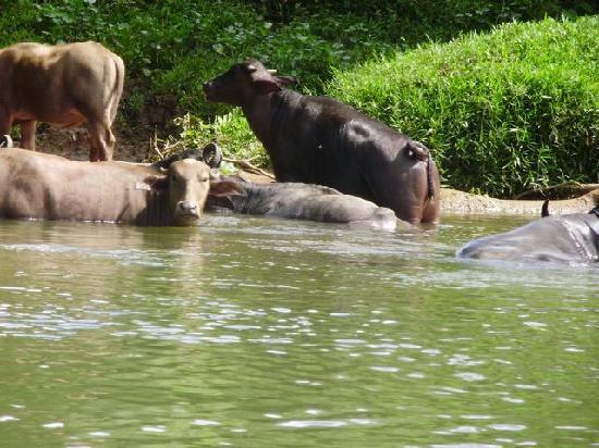 Panama: Cria de Bufalos en Coclesito