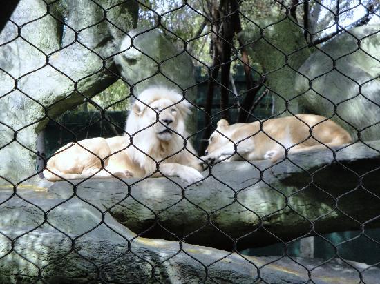 White Lions Picture Of Siegfried Roy 39 S Secret Garden