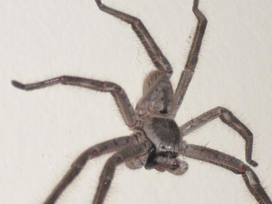 The Huntsman - the scarest looking spider but the most