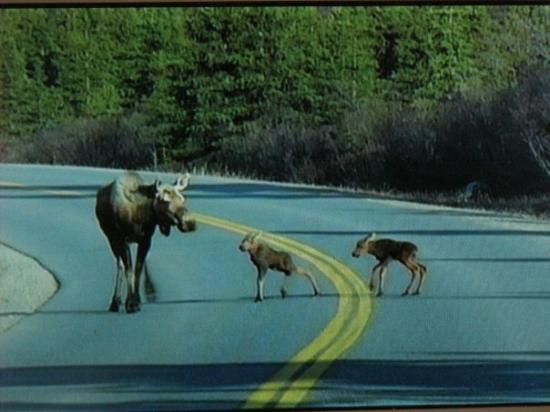 Denali Outdoor Center : Too cute....they were still learning how to walk....again crossed the road in front of us too...