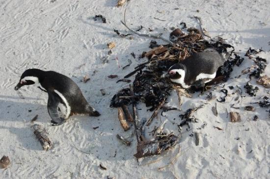 Boulders Beach: Los pinguinos africanos!!!