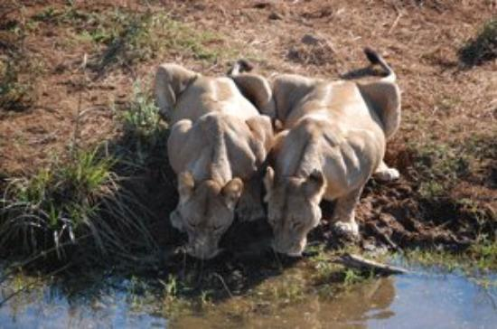 Dar es Salam, Tanzania: Female lions washing down lunch.