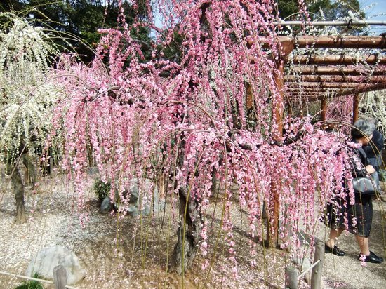 Yuki Shrine: 2010年しだれ梅