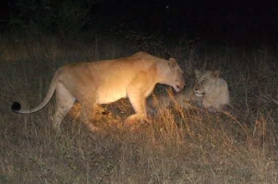 Kapama Private Game Reserve, Sør-Afrika: Dos leonas