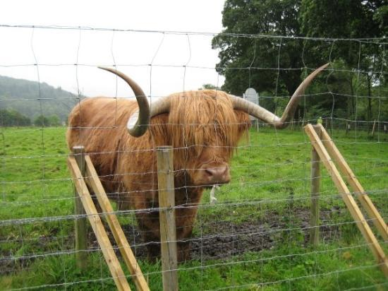 Hamish  Highland Cattle