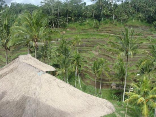 Tegalalang Rice Terrace: Rice paddies in central Bali