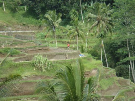Bilde fra Tegalalang Rice Terrace
