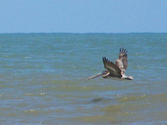Palma Real Beach Resort & Villas: Beaux pelicans!!