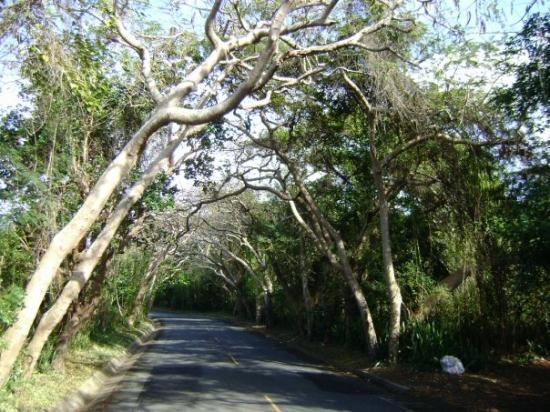 Isabela, Porto Rico : Almond groves in Isabella