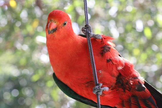Goldsmith's in the Forest: Visiting King Parrots enjoy some sunflower seeds