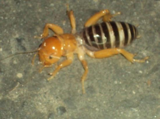Ломпок, Калифорния: they call this a potato bug--