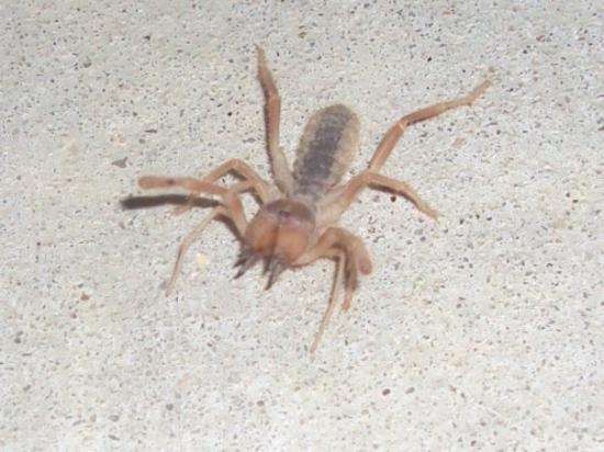Lompoc, Kaliforniya: This would be a Camel Spider-- Eff that!