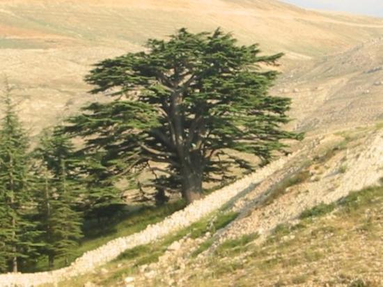 The Cedars of God: Arz