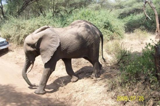 Dar es Salam, Tanzania: Elephants like to step out in front of out jeep