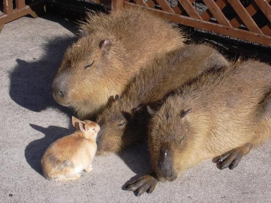 Izu Animal Kingdom : ひなたぼっこをしているカピバラ親子と友人のウサギ君です。ごわごわな毛皮にもちょっと触らせてもらいました。お昼寝を邪魔されて不機嫌になっちゃったかも。