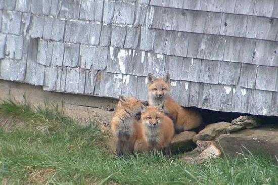 Cape Smokey Provincial Park : Friendly Fox with pups.