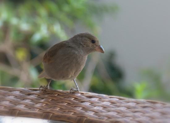 Sugar Cane Club Hotel & Spa: Friendly Finch