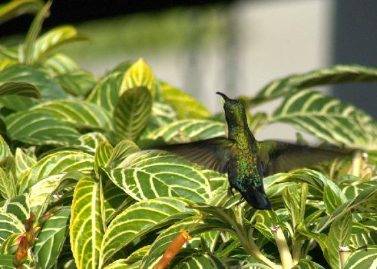 Sugar Cane Club Hotel & Spa: Humming Bird