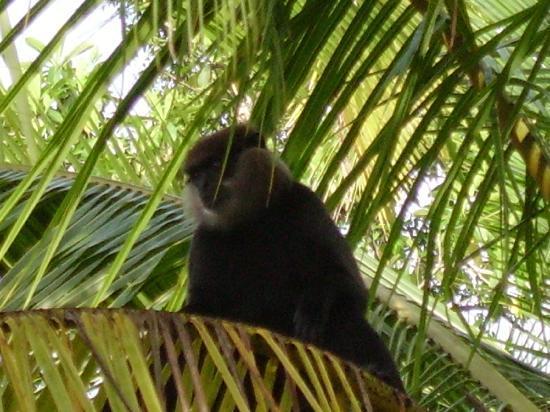 Shangri-Lanka Villa: monkey next door