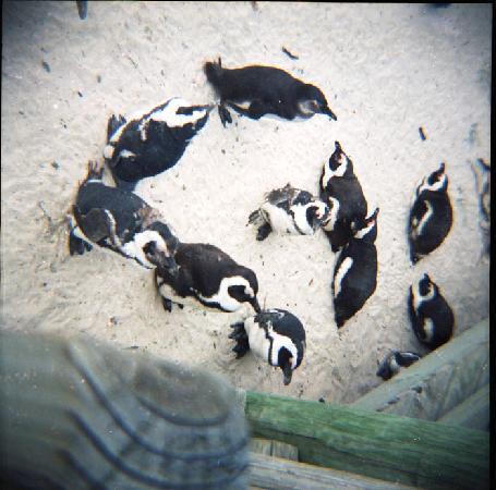 Ciudad del Cabo, Sudáfrica: Boulders Beach, penguins