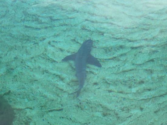 seven mile beach caribbean nurse shark picture of seven mile
