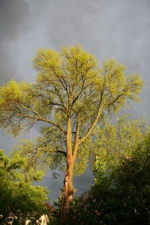 Лондон, Канада: When storms came, I'd go out to see this tree.  It was always gorgeous!
