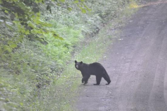 Knoxville, PA: Bear in Tioga