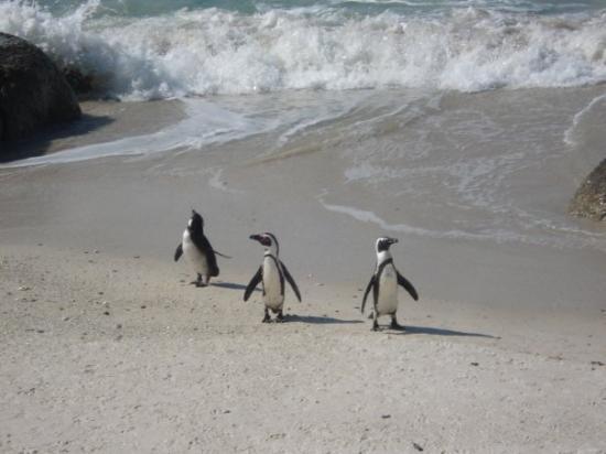 Boulders Beach: penguins no seu habitat