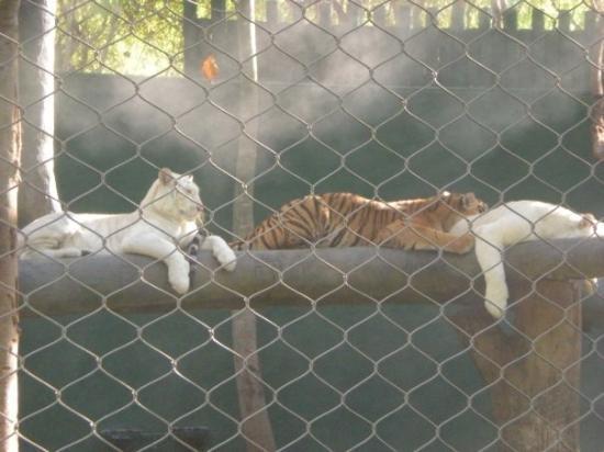 Imagen de White Tiger Habitat at the Mirage