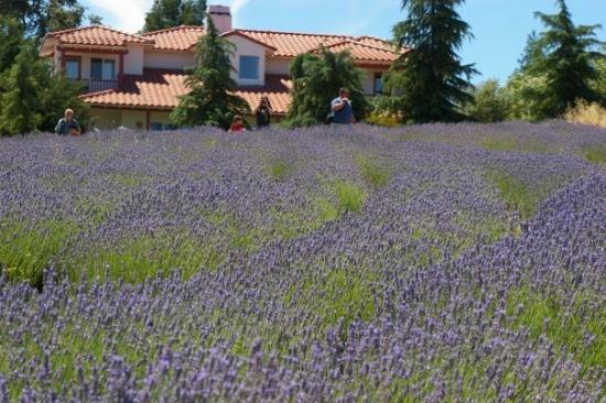 Green Acres Lavender farm Atascadero, CA