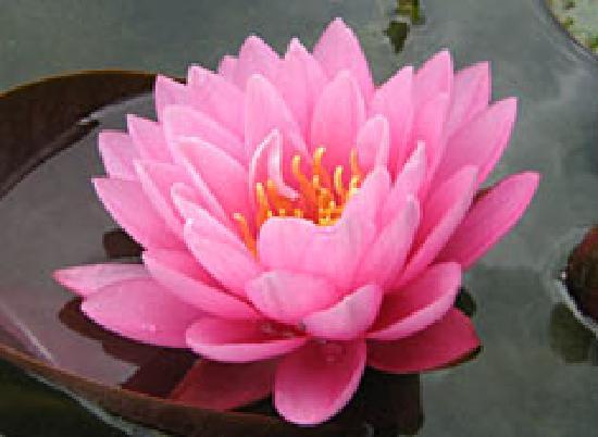 Weymouth, UK: Water Lily