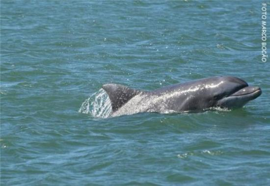 Laguna, SC: Tursiops truncatus