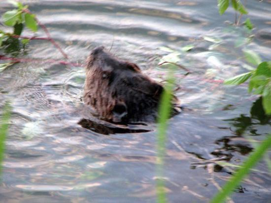 Enderby, Kanada: The Beaver 23-May-09 8-16