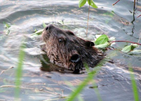 Enderby, Kanada: The Beaver 23-May-09 8-15