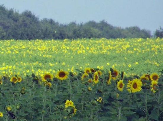Arkansas City, KS: Bristy takes great photos. Beautiful Kansas Sunflowers