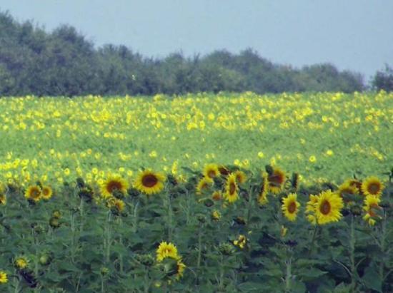 Arkansas City, Канзас: Bristy takes great photos. Beautiful Kansas Sunflowers