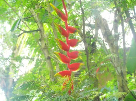 """Puerto Viejo, Costa Rica: They call this """"Parrot Flower"""""""