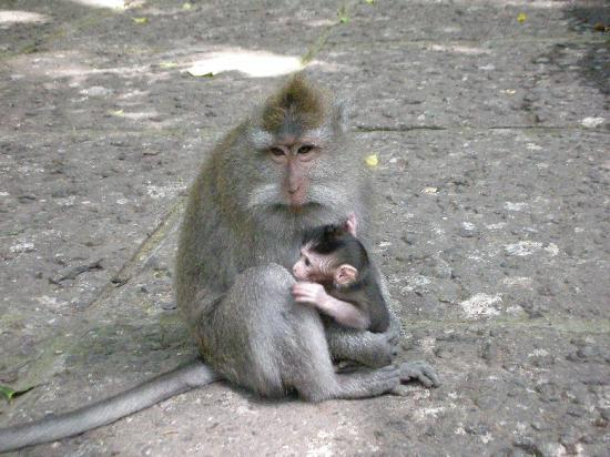 Sacred Monkey Forest Sanctuary: 中には大人しい猿も、、、