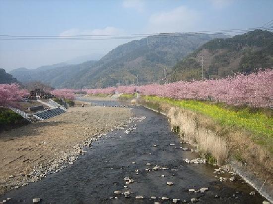 Kawazu Nanadaru Waterfalls: 河津桜