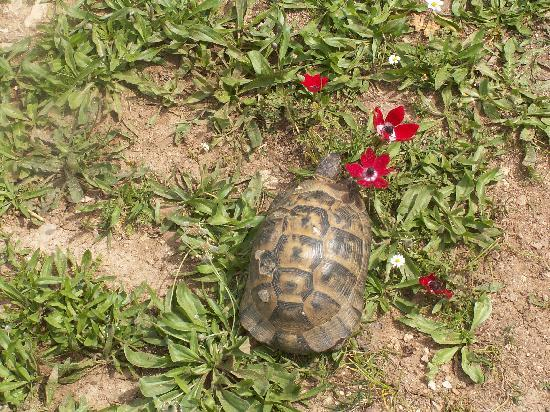 ‪‪Adrasan‬, تركيا: Tortoise with Wild Flowers in the Spring‬