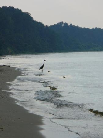 Chesapeake Beach, MD: Heron fishing off the western coast of the Chesapeake