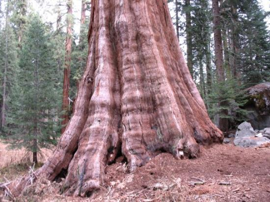 Crescent Meadow Loop: One of the great trees this National Park is named for.