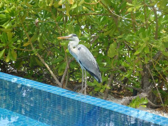 Baros Maldives: Friendly stork visited our pool daily