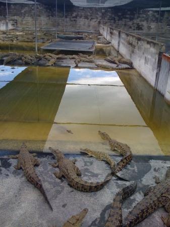 Crocodile farm at 6 mile in Lae
