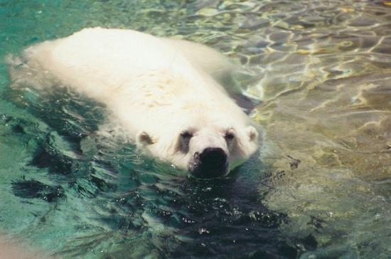 Toronto Zoo : Polar Bear