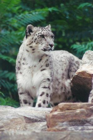 Toronto Zoo : Snow Lepard at the TO Zoo. The cages seem too small for such big  beautys