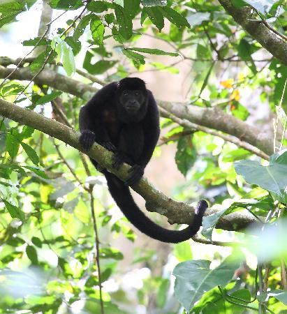 Shelter from the Storm: Howler Monkey