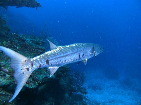 Belize Tradewinds Paradise Villas: baracuda
