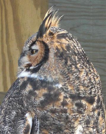 Leslie Science Center: horned owl
